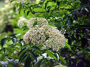sambucus nigra in india